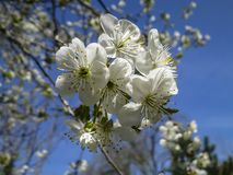 Close-up of white cherry flowers blossom in spring. A lot of white flowers in sunny spring day royalty free stock photography