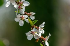 Close-up of white cherry flowers Nanking cherry or Prunus Tomentosa against blurred green garden background stock photo