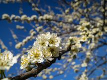 Close-up of white cherry plum flowers blossom in spring. A lot of white flowers in sunny spring day with blue sky. Selective focus stock photography