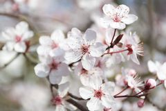 Close up of white cherry tree during spring time royalty free stock photo