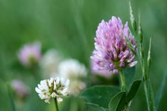 Wild grass flowers Royalty Free Stock Image