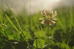 Close up of White Clover in a green meadow Royalty Free Stock Photo