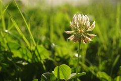 Close up of White Clover in a green meadow Royalty Free Stock Images