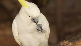 Close-up White Cockatoo (Cacatua alba) stock video