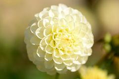 White coloured dahlia. Close up of a white coloured dahlia in bloom stock photography