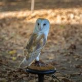Close-up of White Common Barn Owl.  Stock Images