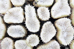 Close-up of white coral Stock Image