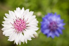 White cornflower. Close up white cornflower in front of purple cornflower Stock Photo