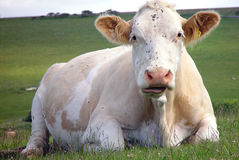 Close up of white cow. A close up view of a white cow, lying in a pasture of green grass on a farm in southern England Royalty Free Stock Image
