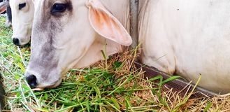 Free Close Up White Cow Face Eating Green Grass And Straw In Corral Or Animal Farm Royalty Free Stock Photography - 154398887