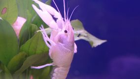 Close up of white crayfish on leaf aquatic plant.  stock video