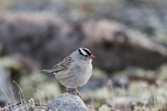 Close-up of a white-crowned sparrow sitting on a rock. Close-up of a white-crowned sparrow, Zonotrichia leucophrys, sitting on a rock, near Arviat, Nunavut Royalty Free Stock Photos