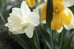 The white daffodils blossomed on the meadow royalty free stock images