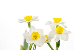 Close up of white daffodils Royalty Free Stock Images
