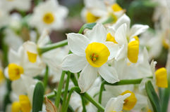 Close up of white daffodils Royalty Free Stock Photography