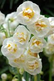 Close up of white daffodils Royalty Free Stock Image