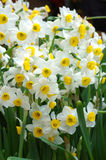 Close up of white daffodils Stock Photography
