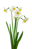 Close up of white daffodils Royalty Free Stock Photo