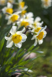 Close up of white daffodils Stock Photos