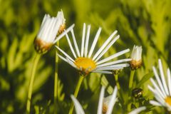 Close-up of white daisy Bellis Perennis blooming in the garden royalty free stock photo
