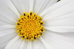 Close-up white daisy and blur green background. Stock Image