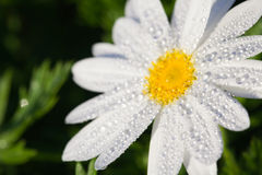 Close up of white daisy flowers Stock Images