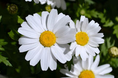 Close up of white daisy flowers. In springtime Stock Photos