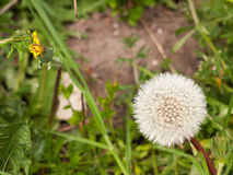 A close up of a white dandelion head in spring upon its stem int stock photo