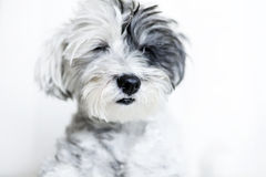 Close-up of a white dog with black ear and closed eyes. Close-up of a white dog with black ear and black nose on a white background Royalty Free Stock Image