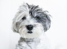 Close-up of a white dog with black ear. And black nose on a white background Royalty Free Stock Photo