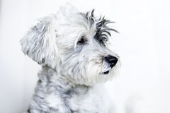Close-up of a white dog with black ear. And black nose on a white background Royalty Free Stock Photography