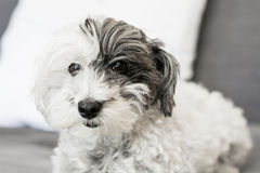 Close-up of a white dog with black ear. And black nose on a white background Royalty Free Stock Photos