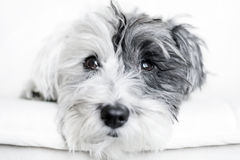 Close-up of a white dog with black ear. And black nose on a white background Stock Photography