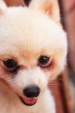 Close up white dog pomeranian Royalty Free Stock Photography