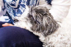 Close-up of a white dog in a woman hugs Stock Photos