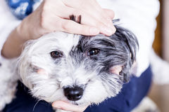 Close-up of a white dog in a woman hugs Stock Photo