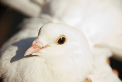 Close up white dove Royalty Free Stock Image