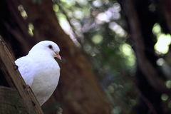 Close up of a white dove. Perching stock photos