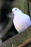Close up of a White Dove. Perching Stock Image