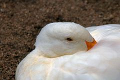 CLOSE UP OF WHITE DUCK WITH BILL UNDER WING Royalty Free Stock Images