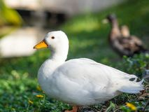 Close up white duck in the grass field. Animal Concept. Close up white duck in the grass field. Animal stock image