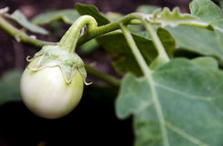 White eggplant. Close up of white eggplant royalty free stock image