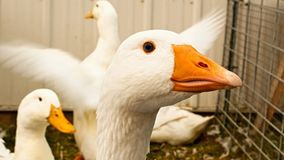 Close up of a White Emden Goose with other geese in pen royalty free stock photography