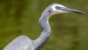 Close-up of white-faced heron or Egretta novaehollandiae royalty free stock images