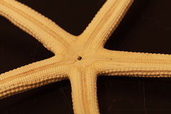 Close up on white Finger Starfish Royalty Free Stock Image