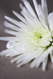 Close up of white flower Stock Photography