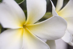 Close up white flower Stock Images