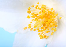 Close up of white flower Royalty Free Stock Photography