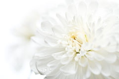 Close up of white flower aster Royalty Free Stock Photography