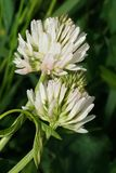 Close-up of white flower clover mountain Trifolium montanum grow. Ing on a meadow in the foothills of the Caucasus, Kabardino-Balkaria, Russia stock image